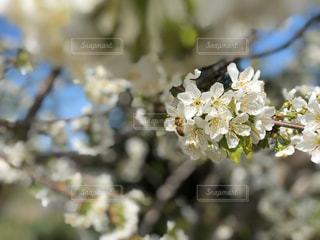 花,春,景色,白い花,ミツバチ,草木,ブロッサム