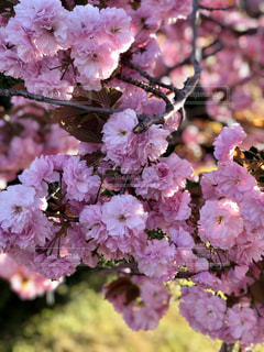 花,春,屋外,ピンク,鮮やか,草木,ブロッサム