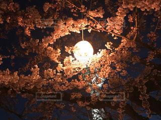 春,桜,夜景,ピンク,幻想的,北海道,夜桜,景色,提灯,明るい,五稜郭公園,函館市