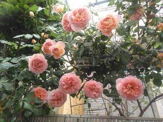 花,バラ,花びら,草木,ガーデン,配置