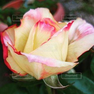 花,春,屋外,バラ,花びら,草木,ガーデン,ブルーム,フローラ