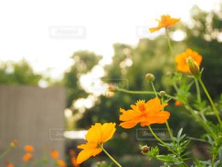 黄色い花の写真・画像素材[3228201]
