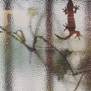 家守り(ヤモリ)。の写真・画像素材[3166315]