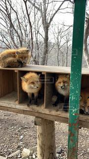動物,屋外,蔵王,3匹,きつね,キツネ村