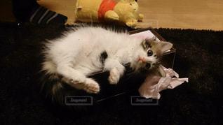 猫,動物,屋内,かわいい,子猫,ティッシュ