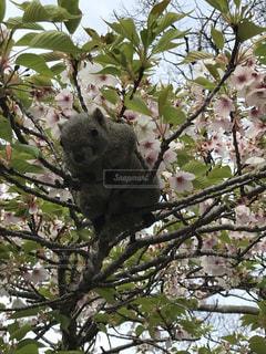 動物,リス,桜とリス