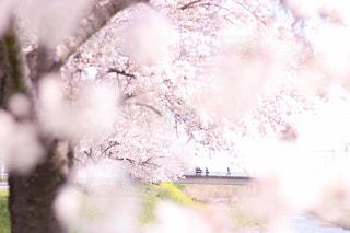 風景,花,春,桜,植物,樹木,桜の花,ブロッサム