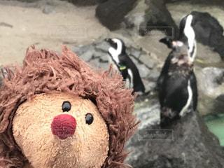 かわいい,ペンギン,伊豆,シャボテン公園,はりーくん