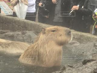 動物,屋外,お風呂,動物園,露天風呂,カピバラ