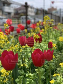 自然,花,春,屋外,菜の花,チューリップ,鮮やか,カラー,草木