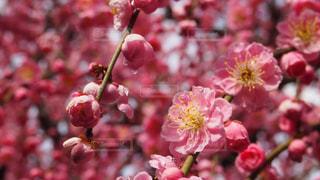 花,梅,ブロッサム,月ヶ瀬