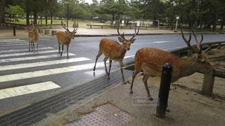 動物,道路,鹿