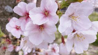 花,春,桜,屋外,花びら,樹木,桜の花,ブルーム
