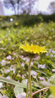花,春,屋外,黄色,草木,タンポポ