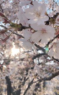 花,春,桜,屋外,樹木,桜の花