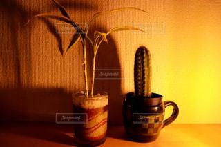 植物,サボテン,観葉植物