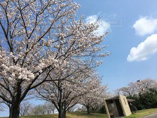 空,公園,花,春,桜,屋外,花見,樹木,チェリーブロッサム,日中,ブロッサム
