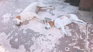 ダルそうな犬の写真・画像素材[3173920]