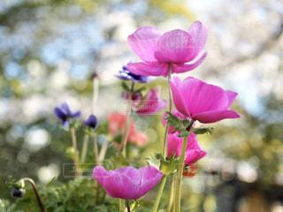 花,ピンク,紫,草木,アネモネ