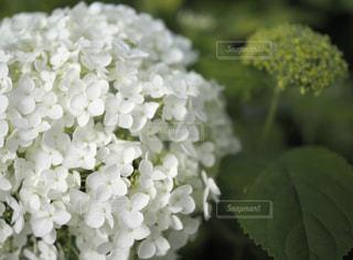 紫陽花のクローズアップの写真・画像素材[3175698]