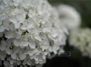 白い紫陽花のクローズアップの写真・画像素材[3175722]