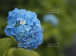 花,白,あじさい,青,白い花,青い花,紫陽花,白いあじさい,青いあじさい