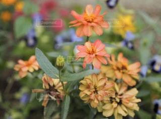 花,百日草,草木,ブルーム,ジニア,フローラ