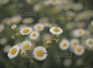 花,白,ハルジオン,草木,フローラ