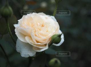 花,白,バラ,花びら,rose,靭公園
