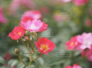花,バラ,花びら,rose,中之島公園,ブルーム