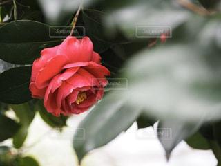 花,椿,草木,赤い椿