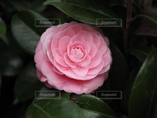 花,葉,椿,ピンクの花,ピンク色の椿
