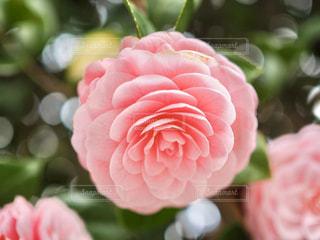 花,花びら,椿,ピンクの花,ピンク色の椿