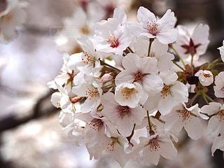 花,春,桜,桜の花,さくら,ブロッサム
