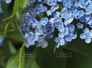可愛いブルーのあじさいの写真・画像素材[3374546]