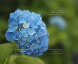ひとつだけ白いブルーのあじさいの写真・画像素材[3374581]