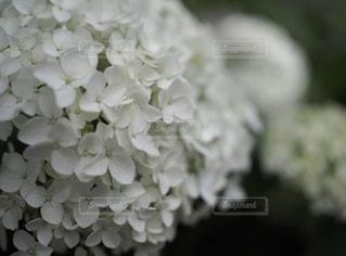 白いあじさいの写真・画像素材[3374640]