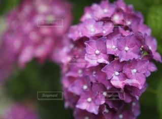 雨の日の赤紫のあじさいの写真・画像素材[3374673]