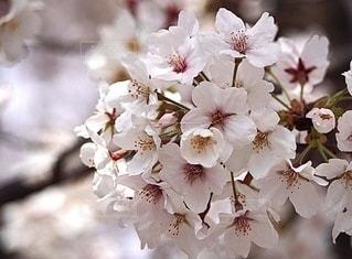 桜の写真・画像素材[3572008]
