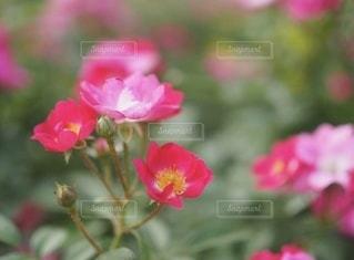 中之島公園のバラの写真・画像素材[3572250]