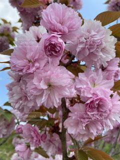 風景,桜,花びら,鮮やか