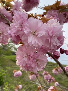 桜,ピンク,景色,花びら