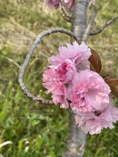 桜,ピンク,花びら