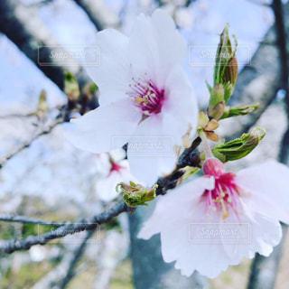 春,桜,花びら