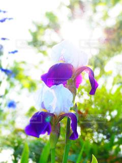 公園,花,紫の花,アヤメ,5月の花,ジャーマンアイリス,ドイツアヤメ,公園に咲いている花