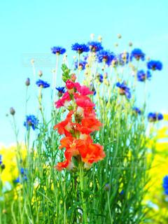 公園,花,オレンジの花,矢車菊,ヤグルマギク,5月の花,公園に咲いている花,クラジオラス,赤と青の花