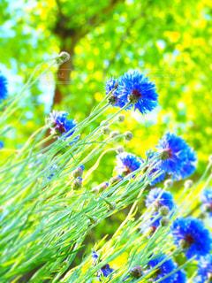 公園,花,矢車菊,ヤグルマギク,5月の花,公園に咲いている花