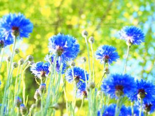 公園,花,紫の花,矢車菊,ヤグルマギク,5月の花,青の花,公園に咲いている花