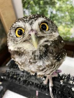 動物,鳥,猛禽類,フクロウ,大きな目