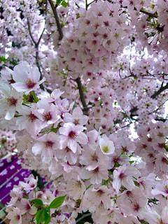花,春,ピンク,白,景色,鮮やか,草木,桜の花,ブロッサム